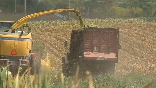 Drought, chopping corn