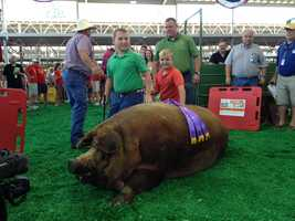 """""""Reggie"""" sets a new State Fair record at 1,335 pounds. He shatters the old record of 1,259 pounds."""
