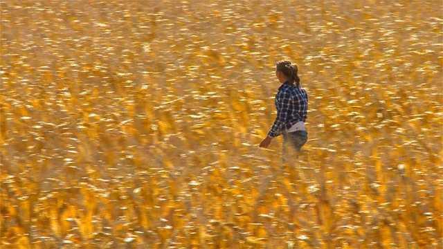 Bull search corn field