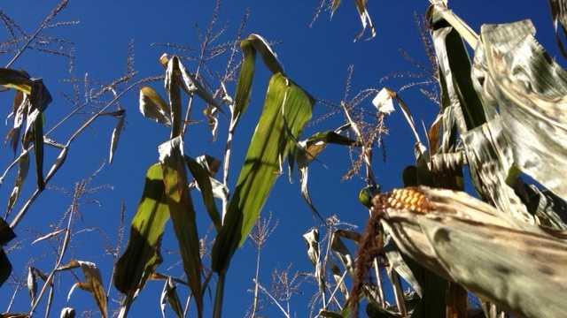 corn, cornstalk, autumn