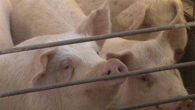 Pig generic iowa