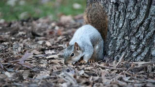 White squirrel 2