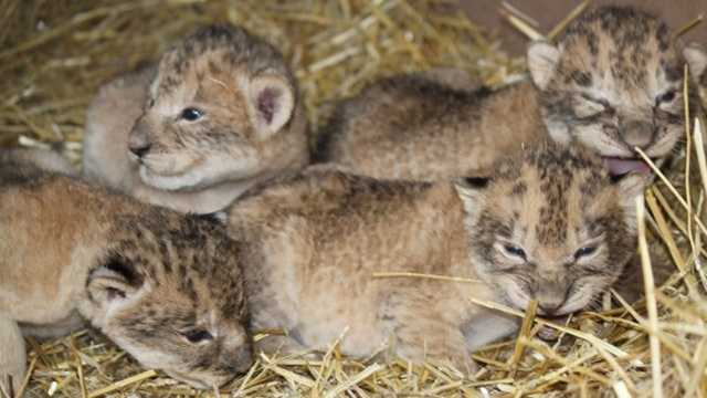 Omaha cubs