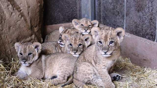 Omaha lions