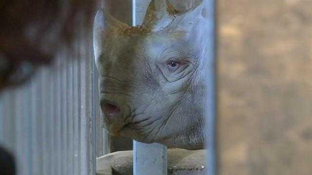 Zoo rino