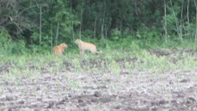 Are these mountain lions?