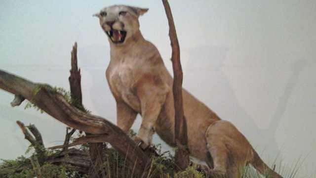 Mountain lion display dm police