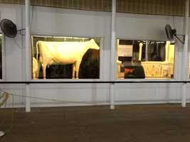 This year's butter cow at the Iowa State Fair.