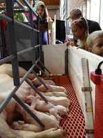 Piglets at the Iowa State Fair