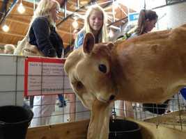 A calf at the Iowa State Fair