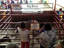 Iowa State Fair's big boar