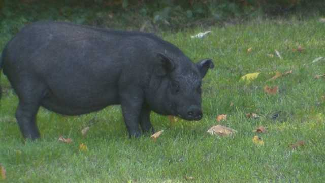 Pig on loose 1