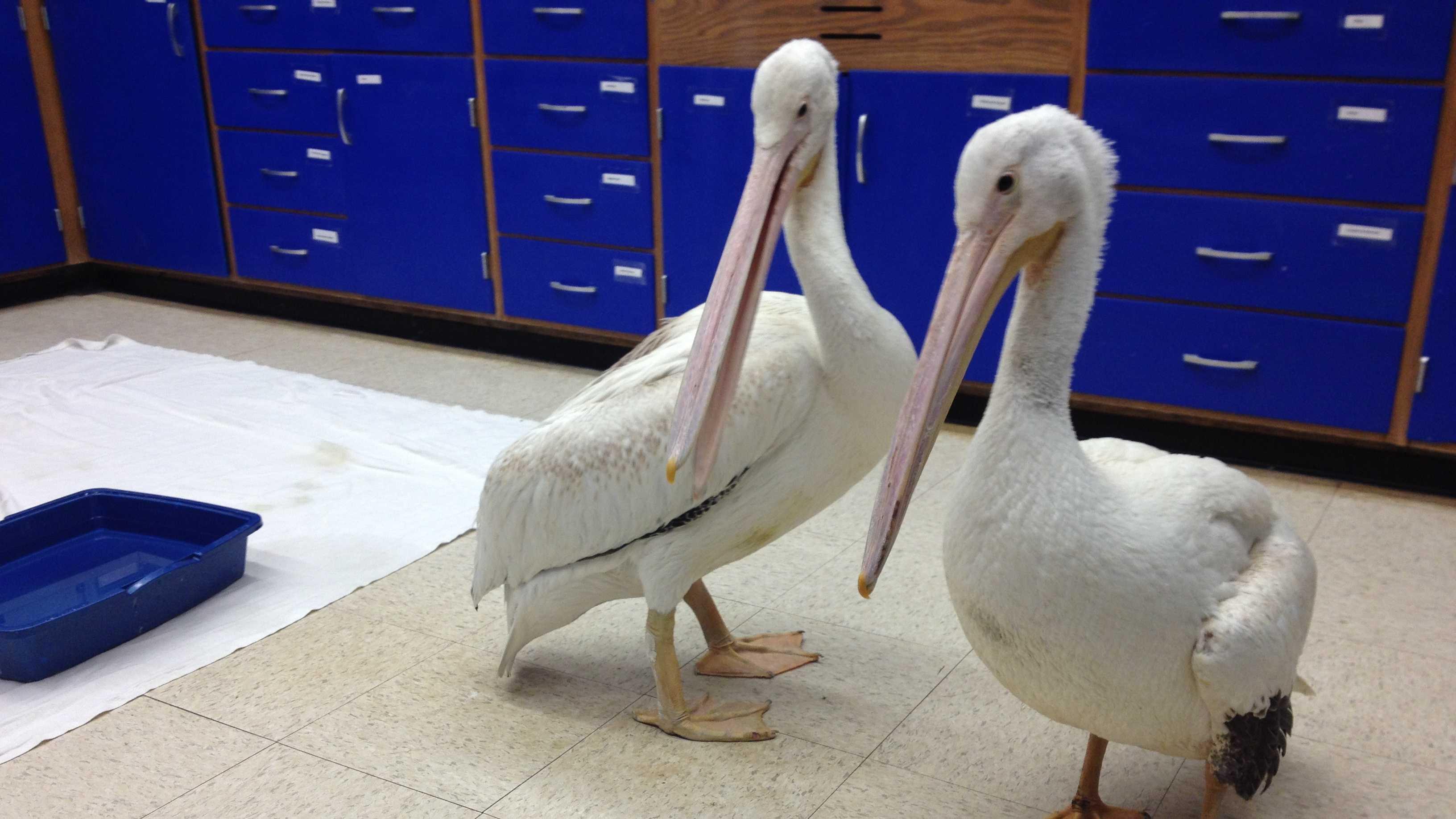 pelicans7.JPG