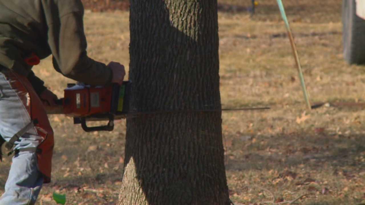 Trees cut down before emerald ash borer strikes