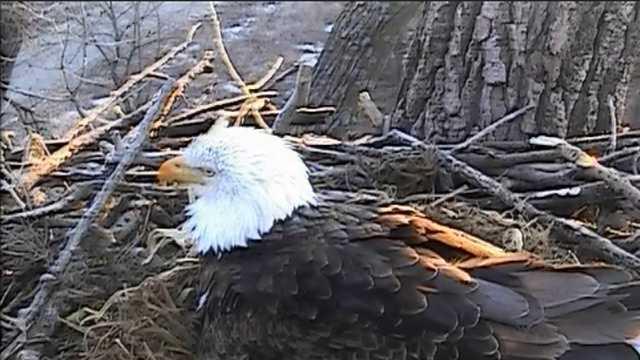 Eagle cam pic