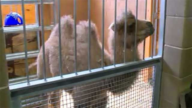 Baby camel Blank Park Zoo
