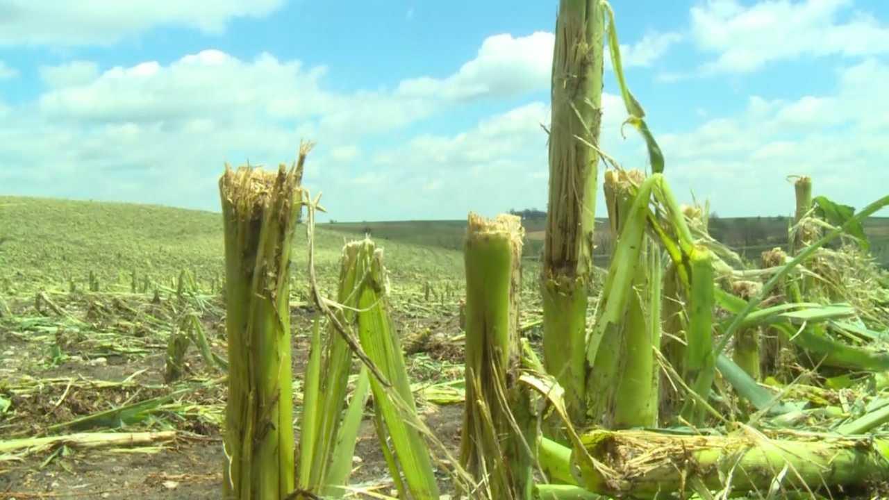 Storms flatten crops