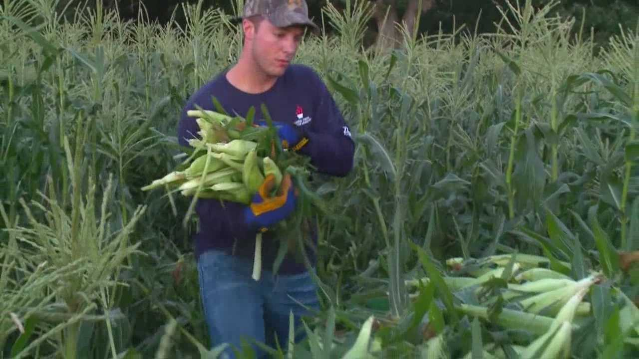 img-First batches of Iowa sweet corn ready to eat