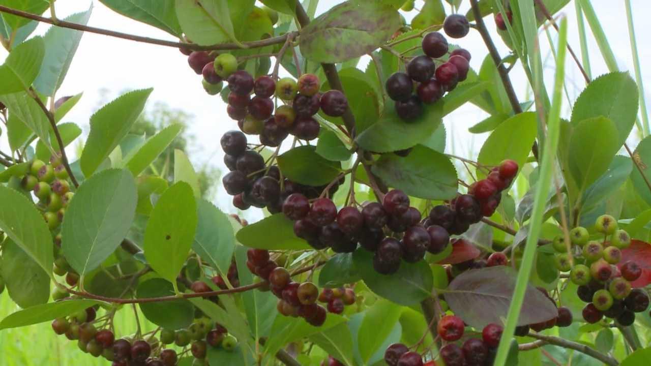 Iowa-grown 'super fruit' rising in popularity
