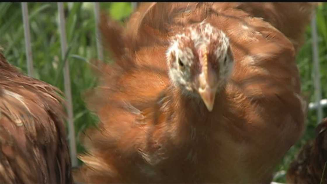img-Local-farmer-confident-her-chickens-are-safe-from-bird-flu.jpg