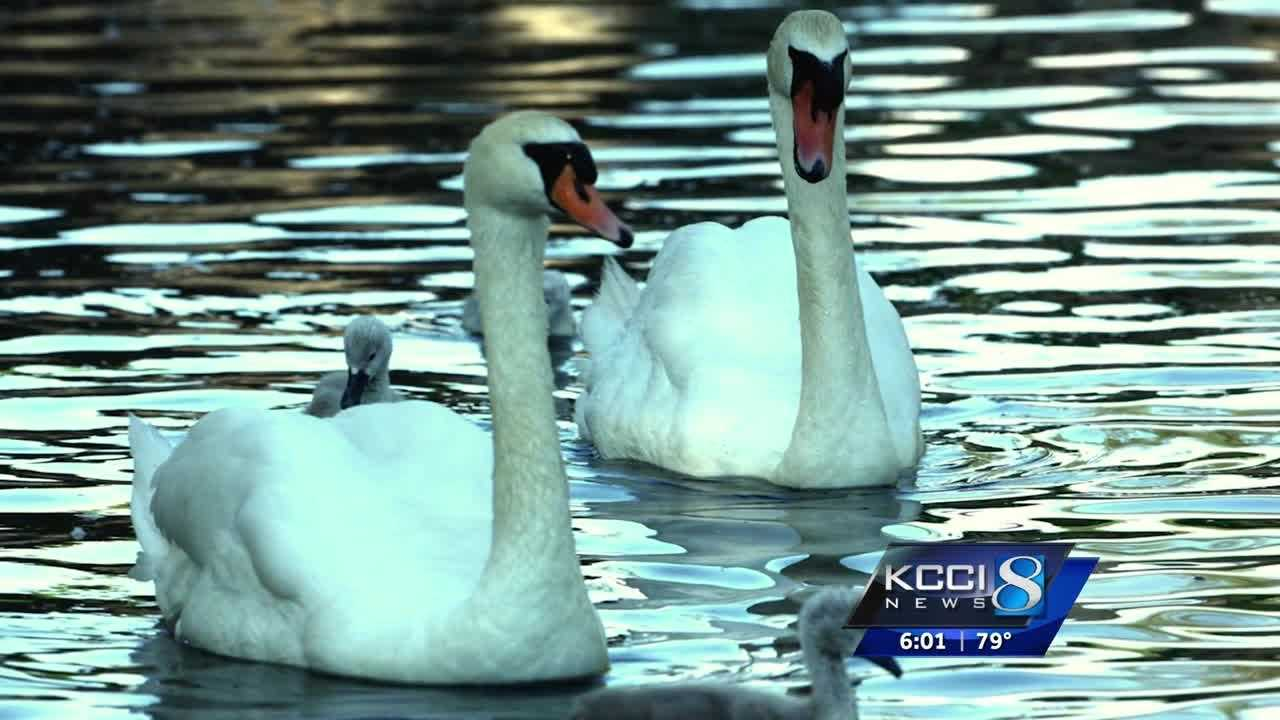 Volunteers fight to save 'Jack' and 'Jill' cemetery swans