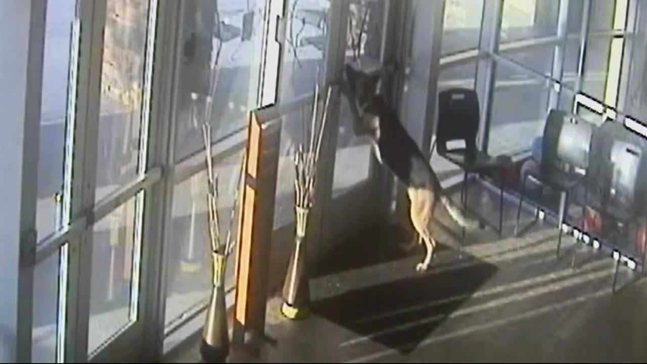 Ginger the German Shepard made her great escape from the Apple Valley animal shelter earlier this month. Shelter officials said they have never seen anything like it, and the whole thing was caught on video.