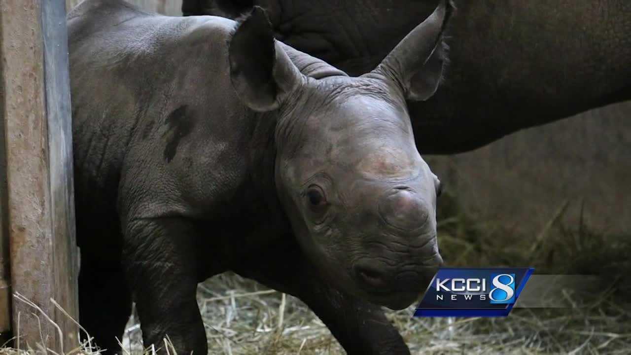 Blank Park Zoo welcomes newborn black rhino