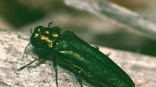 Emerald Ash Borer - 19666472