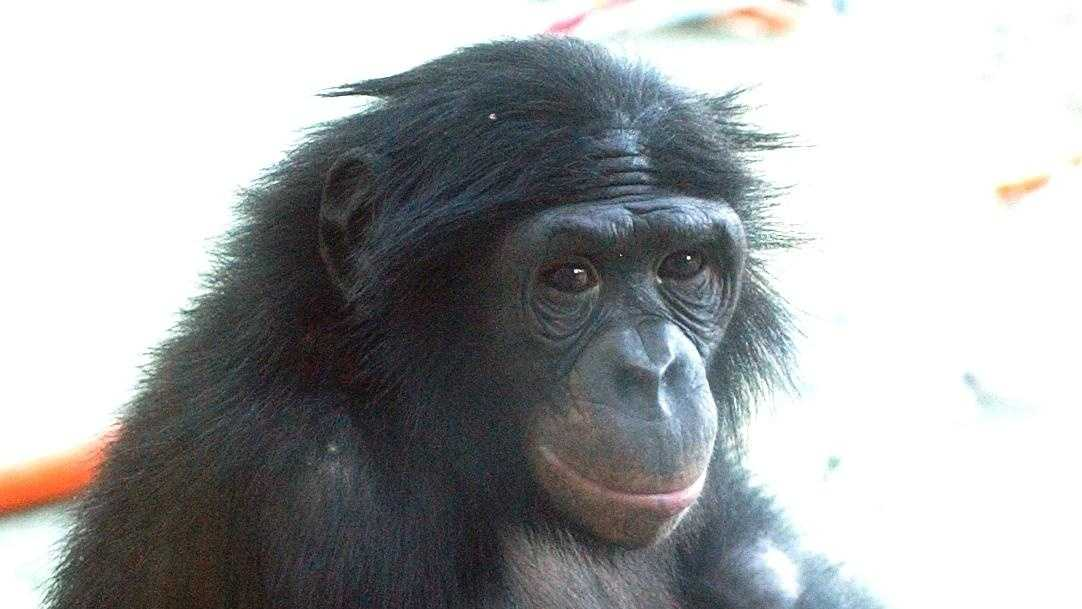 Nathan Bonobo Great Ape Trust 1 - 19481776