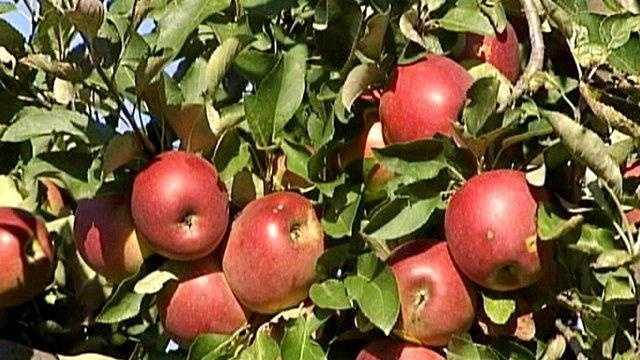 Apple orchard crop ms on tree - 17437867