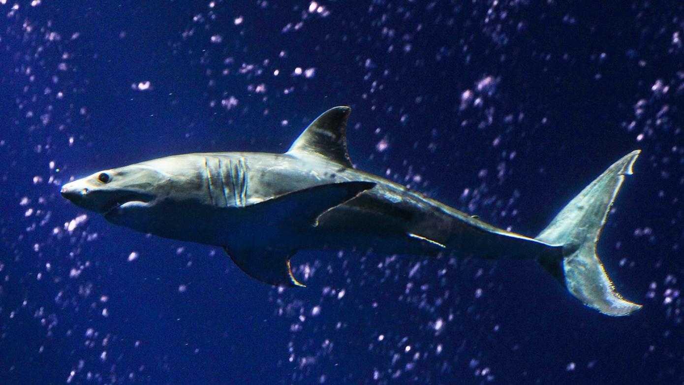 A great white shark swims at the Monterey Aquarium.