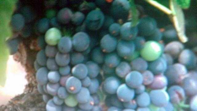 Wine grapes generic - 20308689