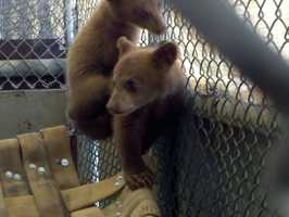The Department of Fish and Game said it confiscated two black bear cubs from a man accused of trying to put them up for sale.