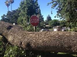 Tree topples (Wednesday) - An estimated 30,000-pound tree toppled along American River Drive, crushing a section of roof and narrowly missing an elderly woman inside, said a Sacramento County tree crew.