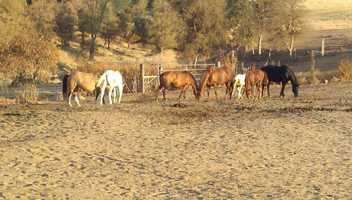These horses were rescued last year from a foreclosed ranch in Lassen County.