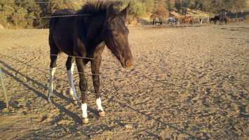 Many of the rescued mares were pregnant, and the herd has since grown from 36 to 45.