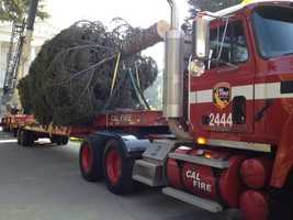 The state's official Christmas tree, which was cut from a Redding forest, was transported to the state Capitol on Wednesday.