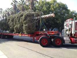 The 50-foot white fir is believed to be the first state Christmas tree to be donated by Cal Fire.