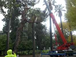A 150-year-old tree in Capitol Park was cut down Saturday because it was infected with a tree disease.