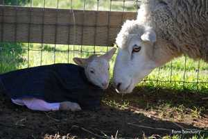 Dolly gave birth to Elizabeth and Zuri on Jan. 21.