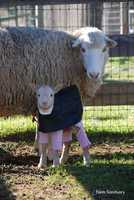 Just before the holidays, two sheep were found dumped and neglected at a high school in Santa Clara. Farm Sanctuary in Orland took in the mother and daughter, who were named Polly and Dolly. Dolly was pregnant when she was found, and last week gave birth to two lambs -- Elizabeth and Zuri.