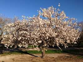 Almond trees have a narrow window in the spring to get pollinated before pedals fall from delicate flowers.