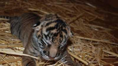 A Sumatra tiger cub was born at the Sacramento Zoo on March 10.