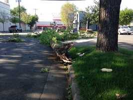 A tree that came crashing down near Broadway in Sacramento.