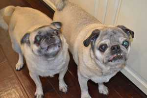 2.) I have not one, but two pugs! The big guy is Elvis, and the little one is Olive. We adopted them from a pug rescue organization.