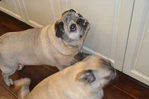 3.) The pugs were owner surrenders, and they definitely crack us up just about every day.