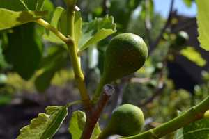 """6.) I love gardening and landscaping. It's my """"therapy."""" This is a great time of the year, because everything is really starting to grow, including these figs."""