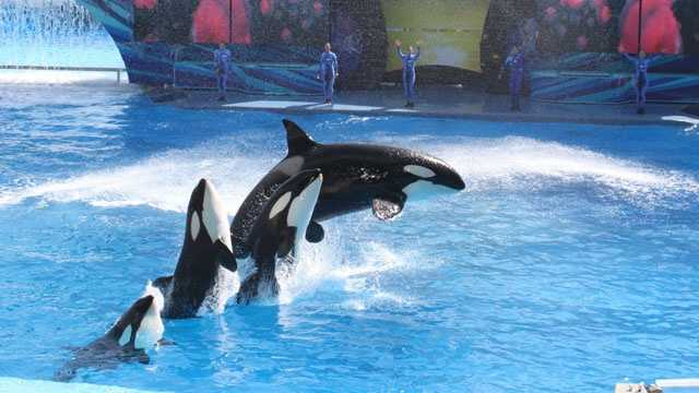 SeaWorld killer whales show