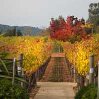 13. Napa accounts for only 4 percent of California's annual grape harvest.