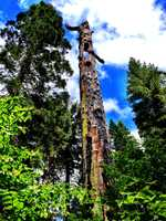Calaveras CountyVisitor-venerated sales tax receipts: $3,200,000Things to do: It's hard to miss this attraction: Calaveras Bit Trees State Park.